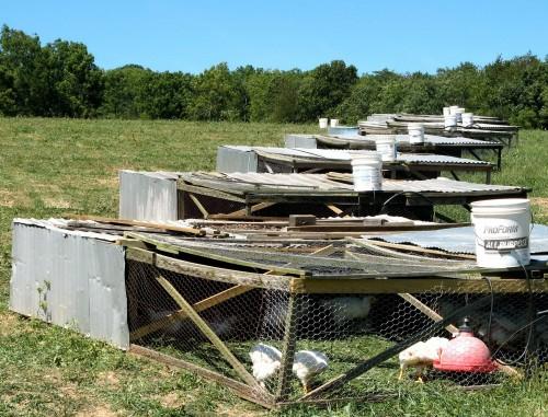 Pastured broilers
